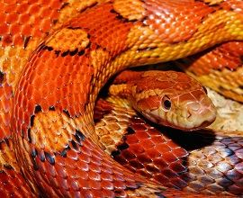 close-up-corn-snake-snake-web